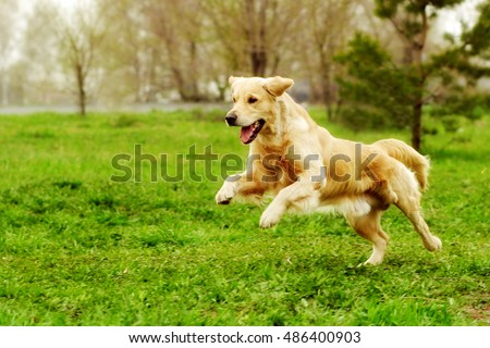 Beautiful happy dog Golden Retriever running around and playing in the summer on the nature #486400903