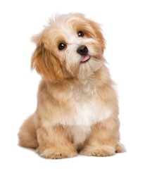 Beautiful happy reddish havanese puppy dog is sitting frontal and looking upward, isolated on white background