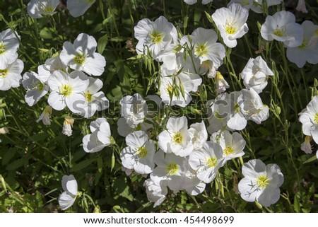 Beautiful hardy decorative white trumpet shaped blooms of white beautiful hardy decorative white trumpet shaped blooms of white convolvulus convovulus arvensis smother the grey foliage mightylinksfo