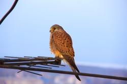 Beautiful hawk. Beautiful falcon. Wonderful hawk. Wonderful falcon. Sitting falcon. Young falcon. Wild bird.  Raptorial bird which is resting in the evening.