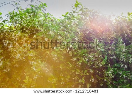 Beautiful hazy sunflare over star jasmine in flower growing on a fence, looking up into the sky.