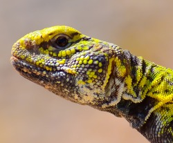 beautiful headshot of colorful spiny-tailed lizard of southern Morocco