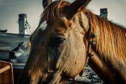 Beautiful Headshot of the brown horse, standing near sea shore of mamallapuram beach, Tamilnadu, South india. Animal portrait photography.