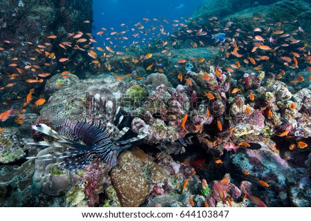 Beautiful healthy coral reef with lots of anthias fishes around. Batee Tokong . Pulau Weh , Indonesia