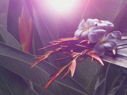 Beautiful Heliconia flowers on empty old wood plank,dimly light in front of blurred green leaves grow in garden with lens flare as outside view,selective focus,soft light.