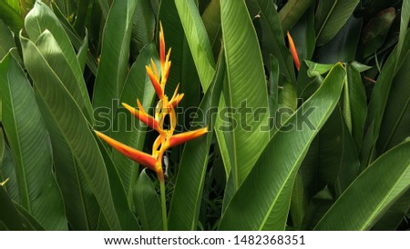 Beautiful Heliconia psittacorum plants growth in nature garden. Selective focus. Spring time. Natural background. Tropical botany tree. #1482368351