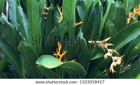 Beautiful Heliconia psittacorum plants growth in nature garden. Selective focus. Spring time. Natural background. Tropical botany tree.