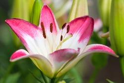 Beautiful hemerocallis, pink flowers