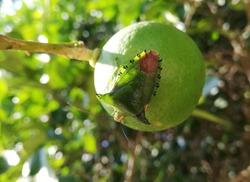Beautiful Hemiptera bug on alime in Khao Sok National Park