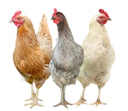 Beautiful hen isolated on white background. Three Chickens