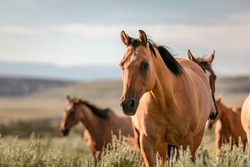 Beautiful herd of American Quarter horse ranch horses in the dryhead area of Montana near the border withWyoming