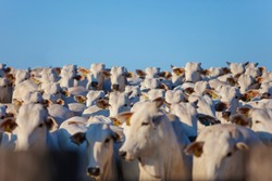 beautiful herd of Nelore cattle, narrow focus, hundreds of heads, Mato Grosso do Sul, Brazil