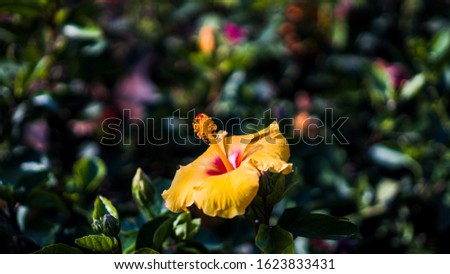 Beautiful Hibiscus flower. Hibiscus rosa-sinensis, known colloquially as Chinese hibiscus, China rose, Hawaiian hibiscus, rose mallow,jasud and shoeblackplant.