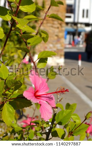 Beautiful hibiscus flower in Assilah, Morocco