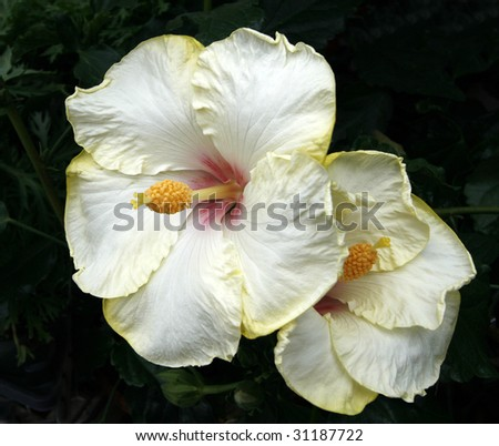 beautiful hibiscus flowers