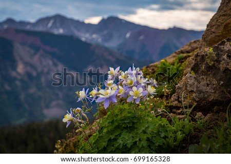 Beautiful high country columbine patch