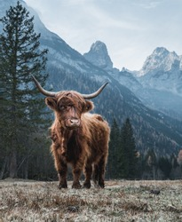 Beautiful Highland Cattle standing alone on a frozen Meadow in front of Huge Peaks in the Italian Dolomites