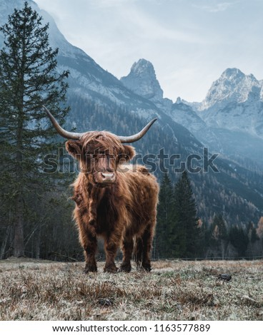 Beautiful Highland Cattle standing alone on a frozen Meadow in front of Huge Peaks in the Italian Dolomites #1163577889