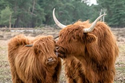 Beautiful Highland Cow cattle with calf (Bos taurus taurus) grazing in field. Deelerwoud in the Netherlands. Scottish highlanders in a natural  landscape. A long haired type of domesticated cattle.