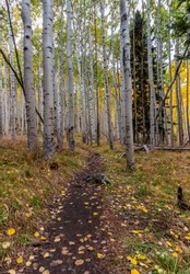 Beautiful Hiking Trail Through A AspenTree Forest During Fall In Northern Arizona near Flagstaff..