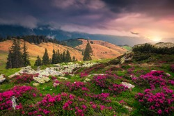 Beautiful hills with flowery slopes at sunrise. Admirable pink rhododendron flowers in mountains on misty morning at sunrise, Carpathians, Transylvania, Romania, Europe