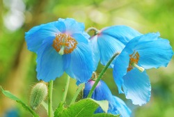 Beautiful Himalayan Blue Poppy Flower, Meconopsis Poppy close up.