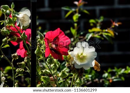 beautiful hollyhock flower...
