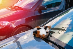 Beautiful homeless kitty. A multicolored cat on the windshield of a parked car bask in the morning sun.