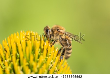 Beautiful honey bee closeup on flower gather nectar and pollen. Animal sitting for pollination. Important insect for environment ecology ecosystem. Awareness of nature climate change sustainability ストックフォト ©