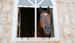 Beautiful horse peeks out the window in a stable. Horse stable