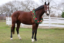 Beautiful horse portrait in christmas wreath decoration christmastime