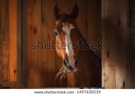 Beautiful horse portrait in warm light Photo stock ©