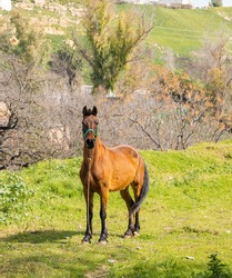Beautiful horse with brown fur and a long dark tail in a green meadow with grass. Slender and muscular horse tied up looks at the camera with an imposing stance.