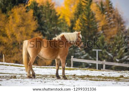 Beautiful horses in Alpe di Siusi, Italy-Dolomites, Alpes.  #1299331336
