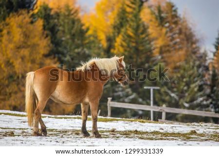 Beautiful horses in Alpe di Siusi, Italy-Dolomites, Alpes.  #1299331339