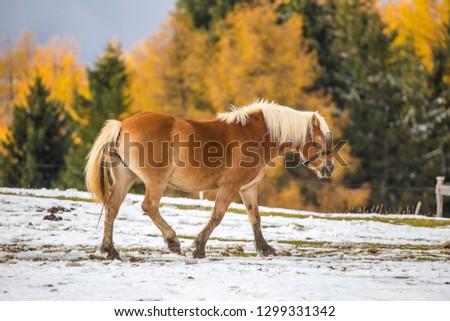 Beautiful horses in Alpe di Siusi, Italy-Dolomites, Alpes.  #1299331342
