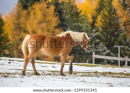 Beautiful horses in Alpe di Siusi, Italy-Dolomites, Alpes.  #1299331345