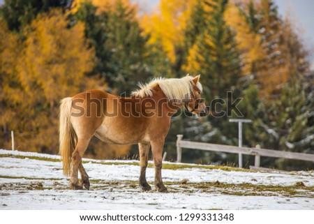 Beautiful horses in Alpe di Siusi, Italy-Dolomites, Alpes.  #1299331348