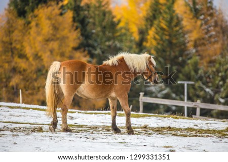 Beautiful horses in Alpe di Siusi, Italy-Dolomites, Alpes.  #1299331351