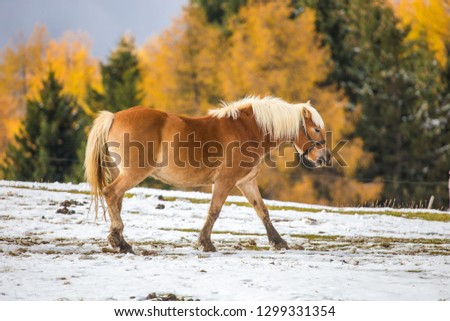 Beautiful horses in Alpe di Siusi, Italy-Dolomites, Alpes.  #1299331354