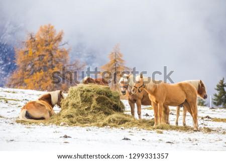 Beautiful horses in Alpe di Siusi, Italy-Dolomites, Alpes.  #1299331357