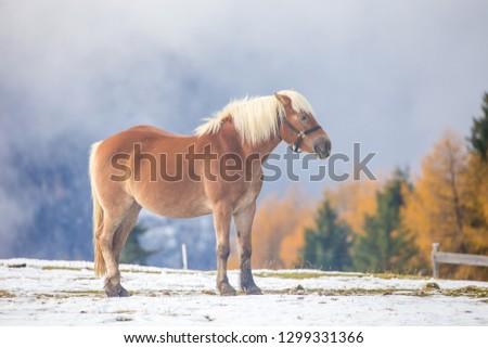 Beautiful horses in Alpe di Siusi, Italy-Dolomites, Alpes.  #1299331366
