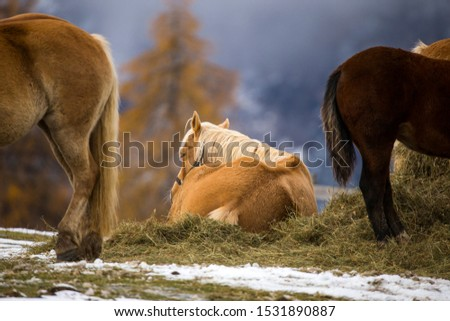 Beautiful horses in Alpe di Siusi, Italy-Dolomites, Alpes.  #1531890887