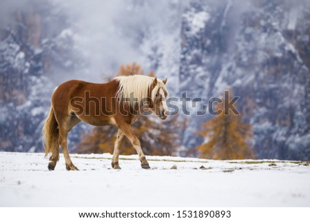 Beautiful horses in Alpe di Siusi, Italy-Dolomites, Alpes.  #1531890893