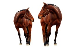Beautiful Horses - Isolated on a white