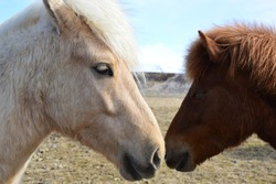 Beautiful horses outside in Iceland