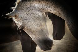 Beautiful horses, tenderness, and love pose