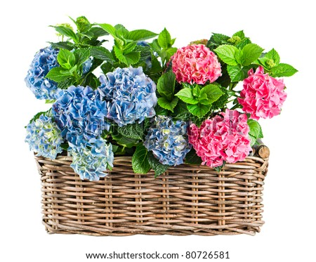 beautiful hortensia isolated on white. colorful hydrangea in basket
