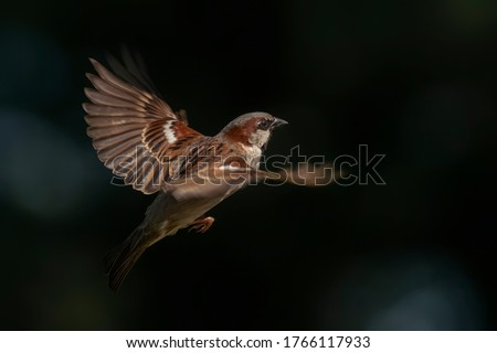 Beautiful House Sparrow male (Passer domesticus) flying on dark and blue bokeh background. Foto stock ©
