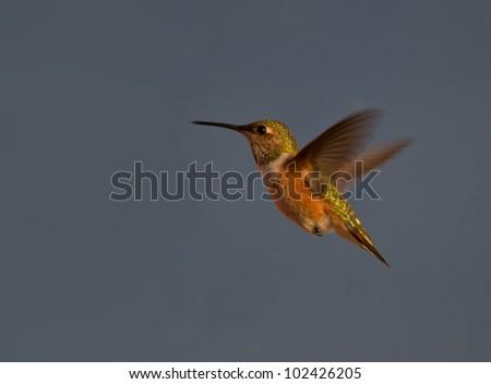 Beautiful Hummingbird hovering in mid air